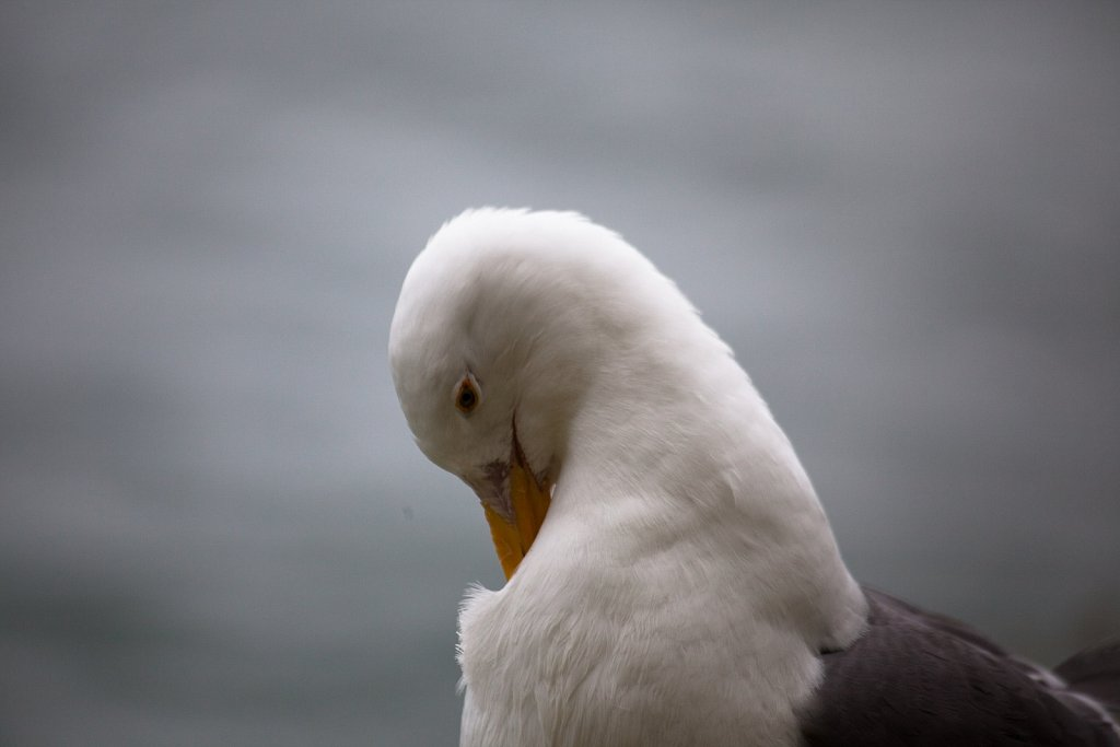 The Western Gull can escape from Alcatraz anytime it wants.