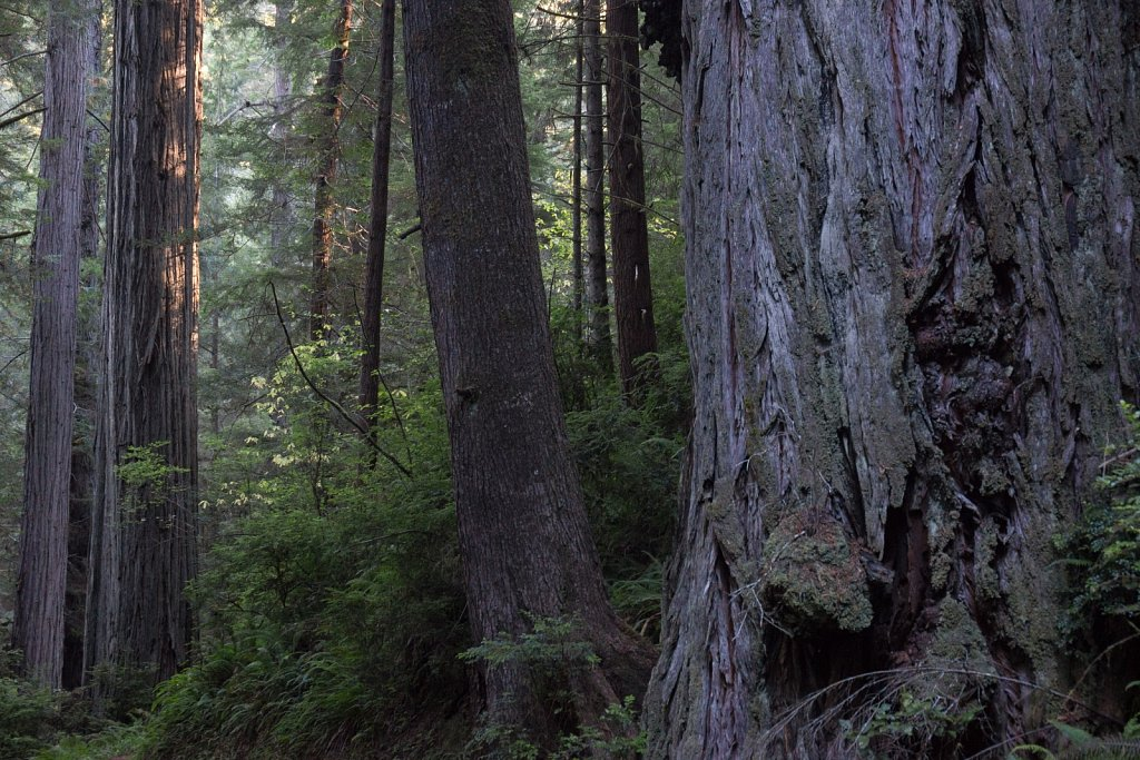 Big trees in Prairie Creek Redwoods State Park 1