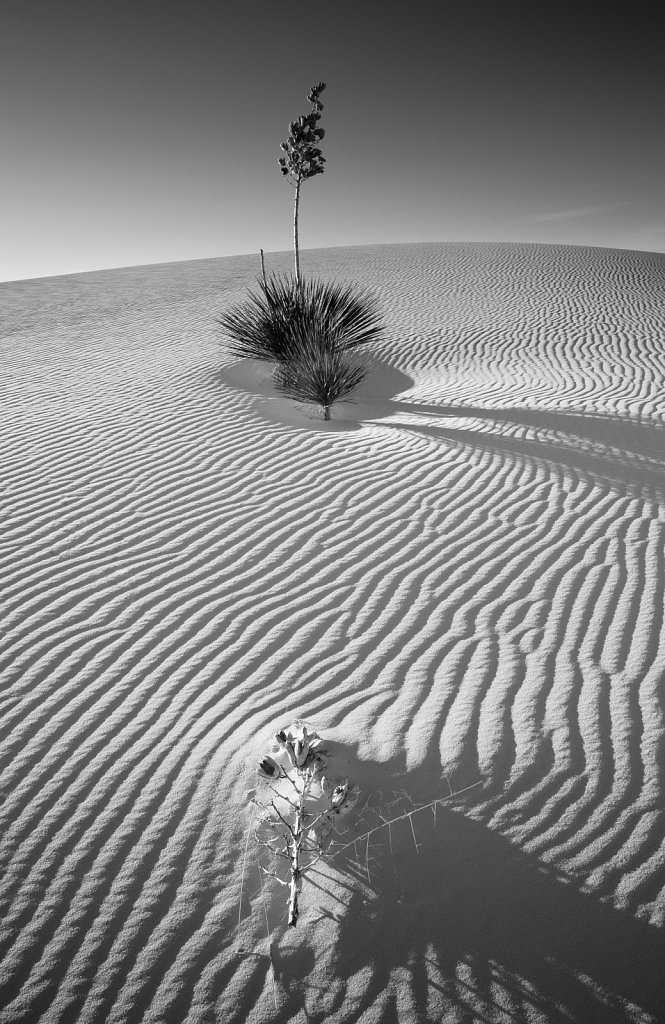 Yucca plant and skeletal seedpod on rippled dunes in White Sands