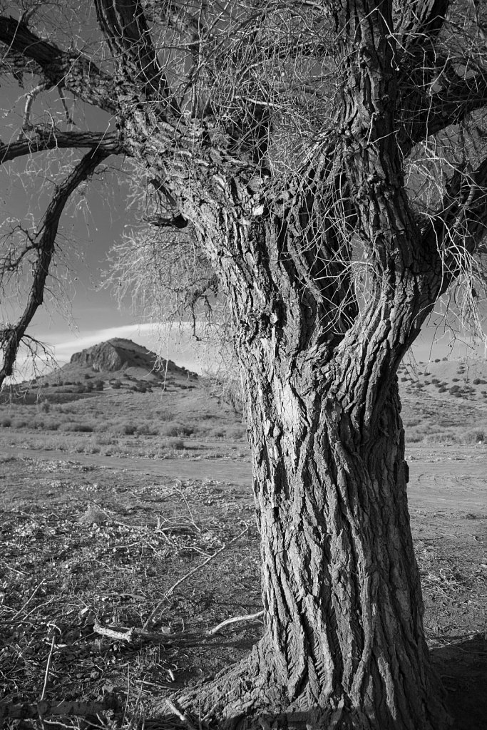 Cottonwood tree near Golden New Mexico