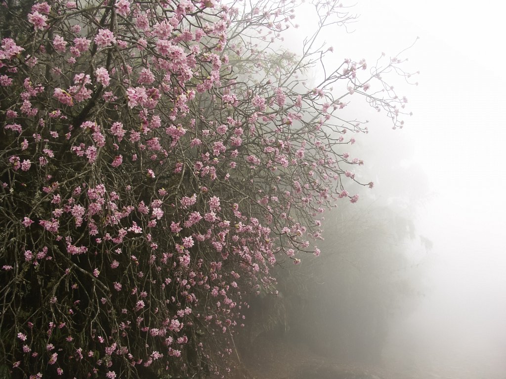 Pink rhododendron blooms in mist in the Himalayan mountains
