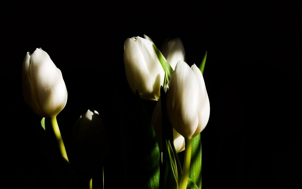 Six white tulips in shadow and light against a black background