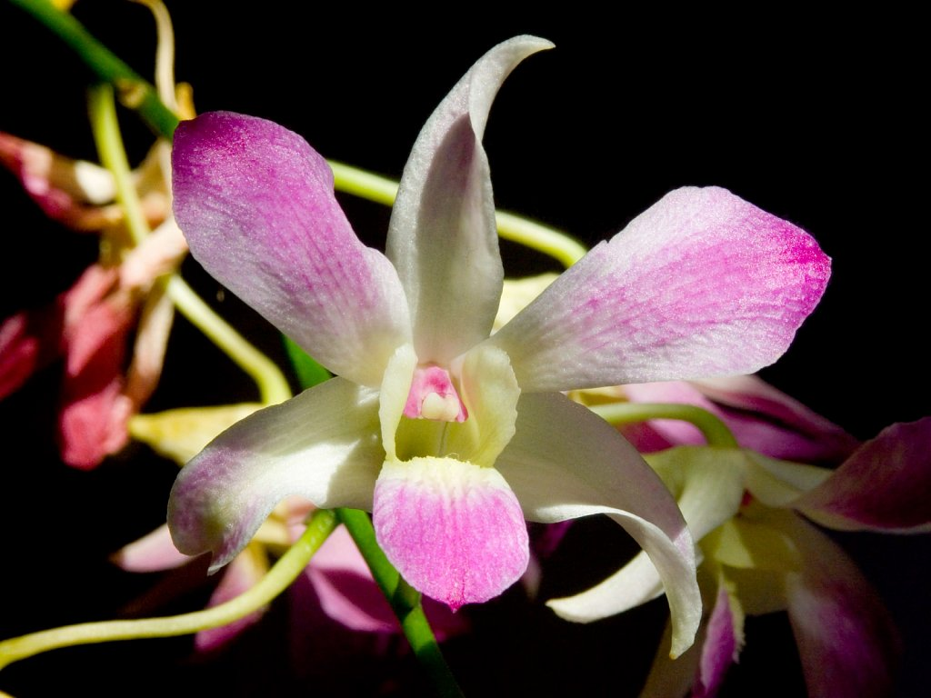 Purple and white Phaleonopsis Orchid against a black background
