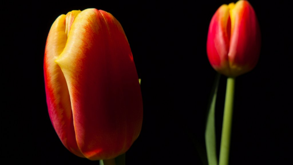 Two red and yellow tulips in tension